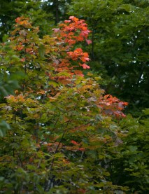 Red Maples, a harbinger of what is coming.