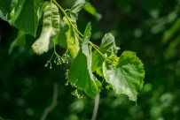 Basswood in flower