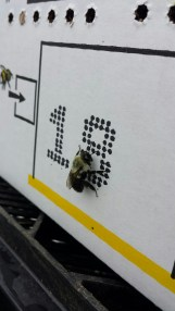 The first bumble to emerge from the shipping hive!