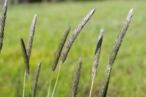 Black Tipped Grass