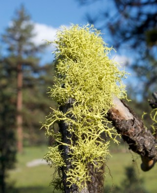 Chartreuse Lichen