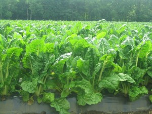 Image of swiss chard growing in a field