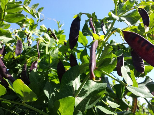 purple snow peas