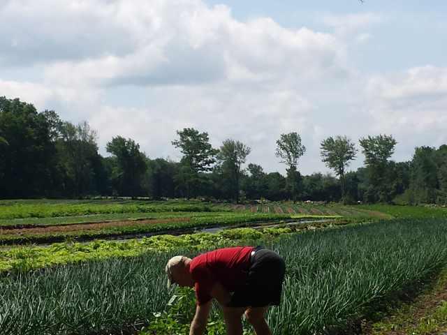 Glenn weeding the onions
