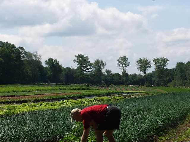 Glenn weeding the onions