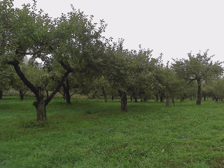 appletrees (1)