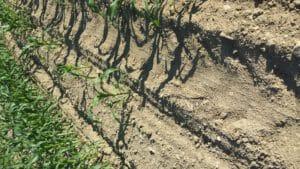 drought stricken cornfield