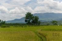 Sawah Pemalang