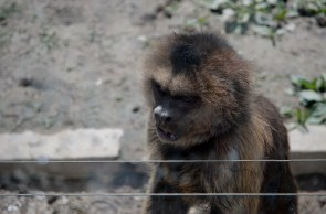 Brown pale fronted monkeys