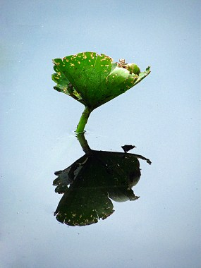 Floating Lily Pad