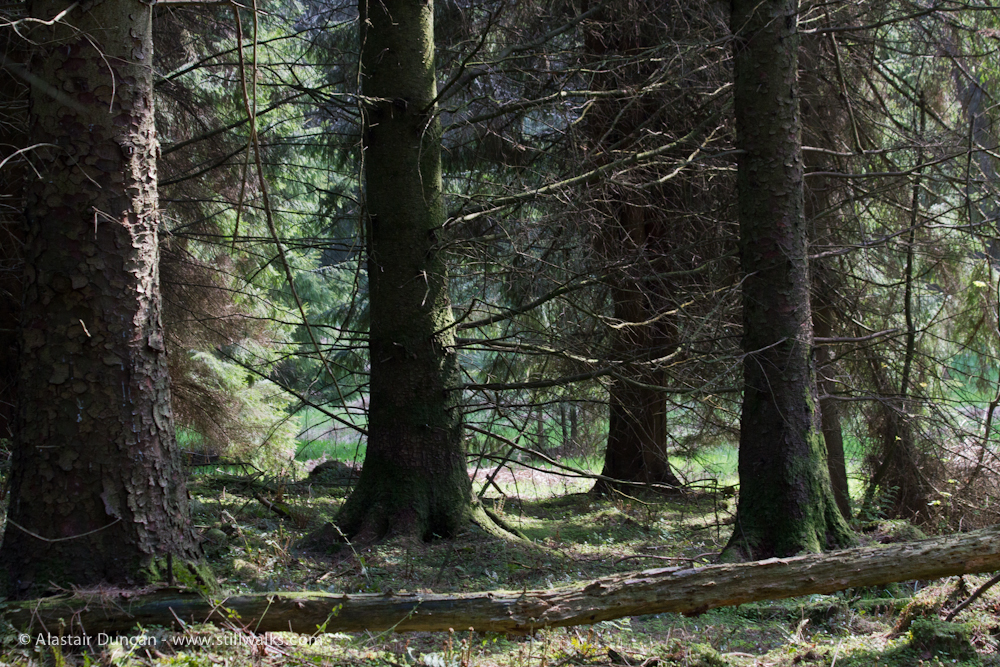 Cally Forest