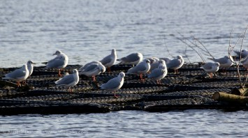 Gulls at rest