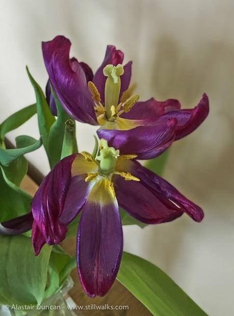 dying tulip