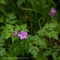 wildflowers - Herb Robert