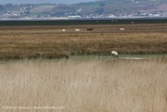Salt Marshes, ponies and sheep