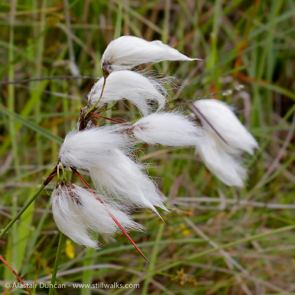 Bog cotton detail