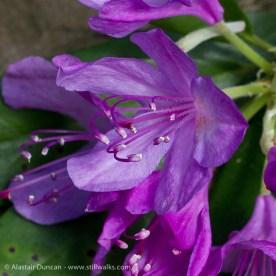 Rhododendron flower detail