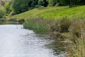 Lakeside bullrushes