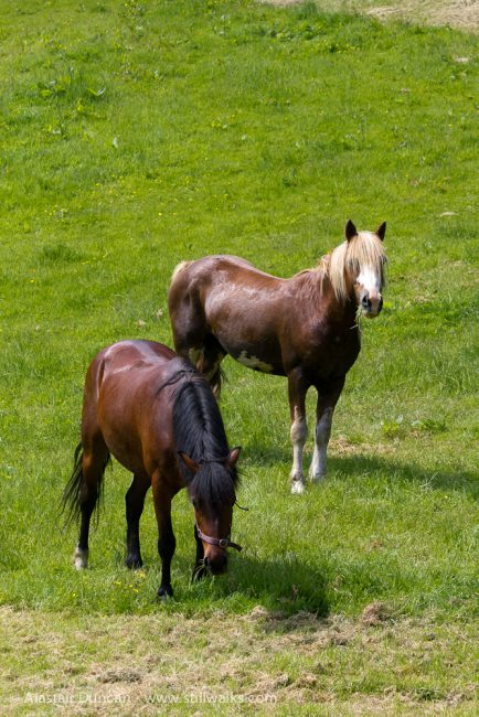stallion and mare