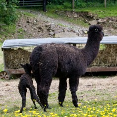 new born alpaca