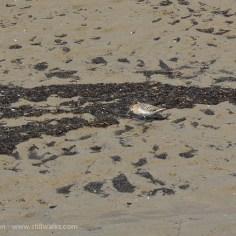 Sand Piper