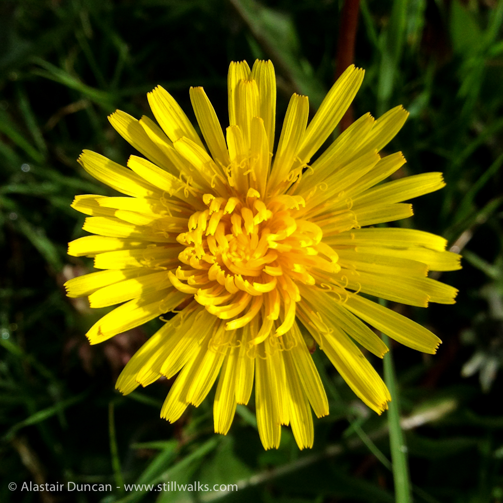 Forest dandelion in May