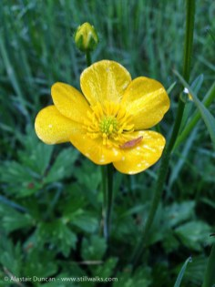 May Buttercup