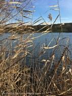 Lakeside Reeds