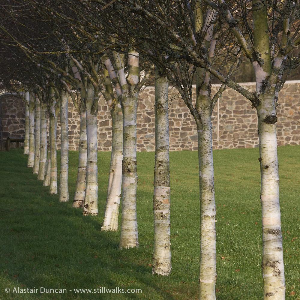 Birch Tree Perspective