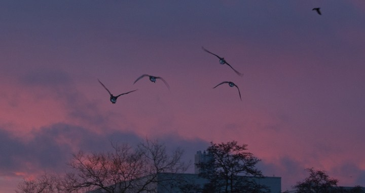 Geese at sunset