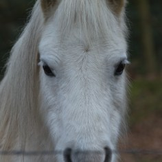 grey pony portrait