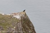 Crow on Rhossili Cliff