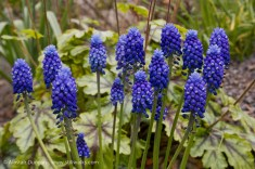 Swansea Botanic blue