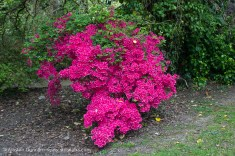 Swansea Botanic pink