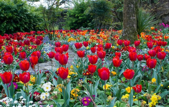 Red tulips at Swansea Botanic Garden