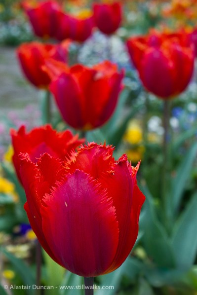 raggedy edged red tulip