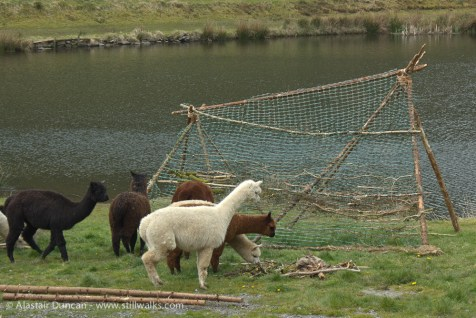 Alpacas and Woodland Weaving installation