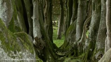 Dorset tree arrangement