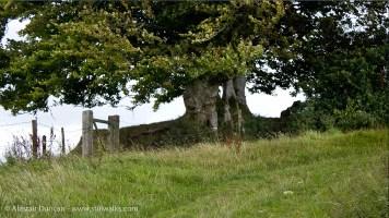 Dorset trees