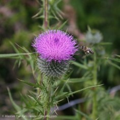 Thistle and bee