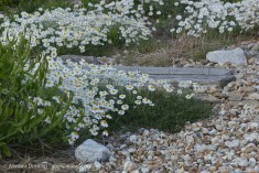 Foreshore flowers