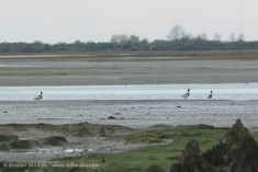 Pagham Nature Reserve - geese