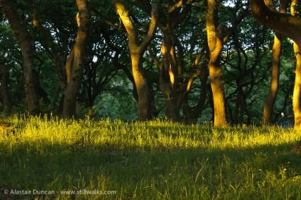 Evening light in the oak wood
