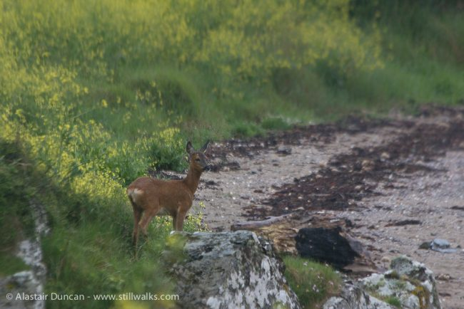 Young Roe Deer