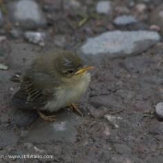 fallen fledgling