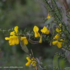 Wildflowers- broom