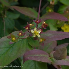 Wildflowers - maid of sharon