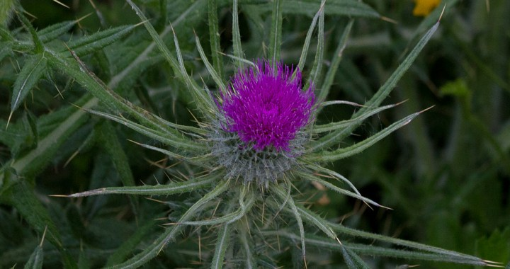 Wildflowers - thistle