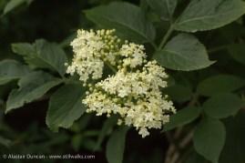 Wildflowers-elderflower