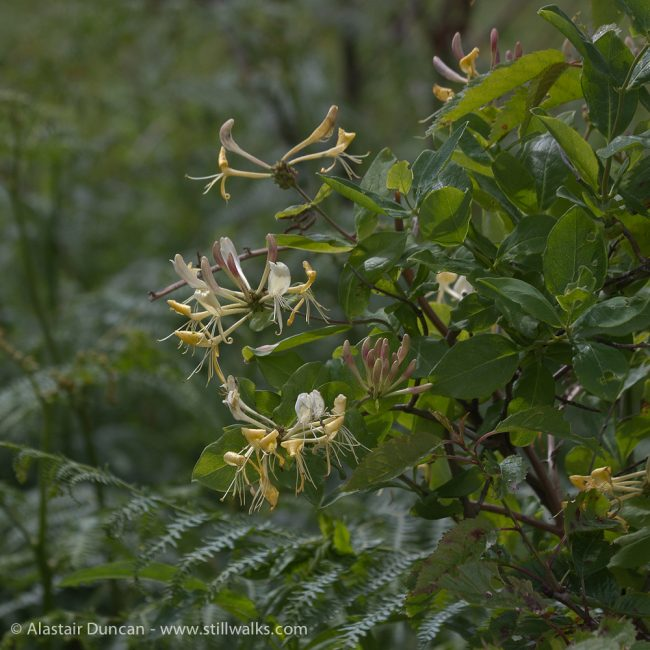 Wildflowers - Honeysuckle